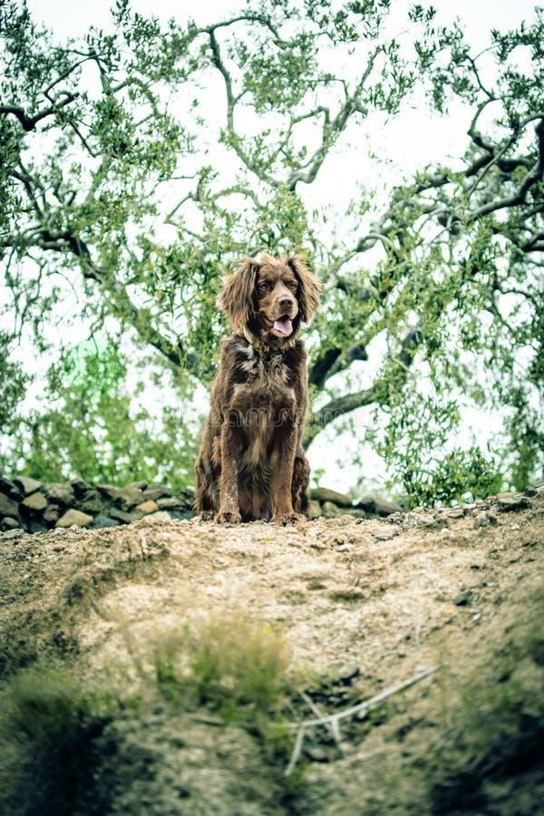 Охотничья собака Брауна породы munsterlander небольшой стоковое фото rf