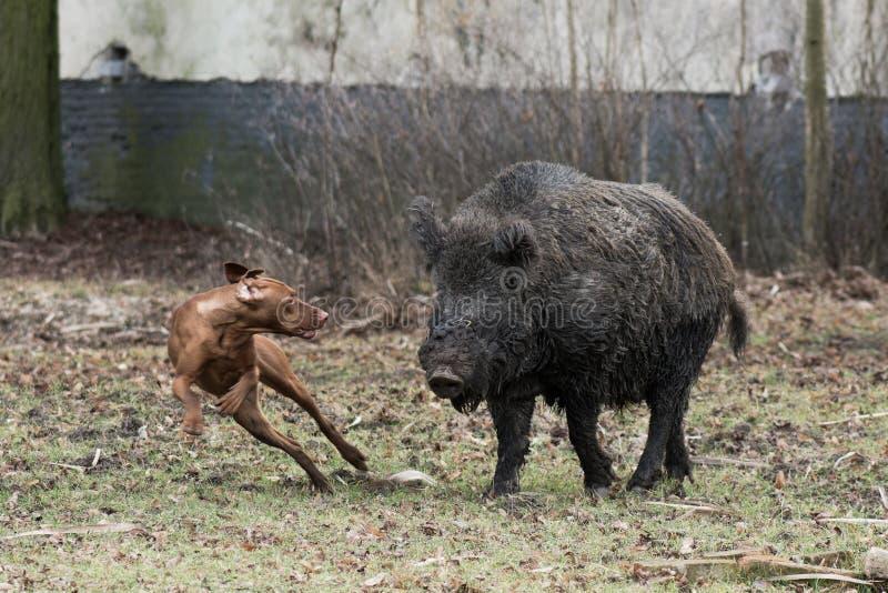 Охотничья собака гоня дикий кабан стоковые фотографии rf