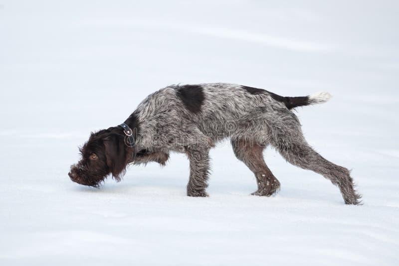 Охотничья собака обнюхивая животное игры на снеге стоковые изображения rf