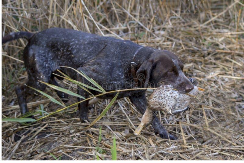 Охотничья собака приносит утку стоковое фото rf