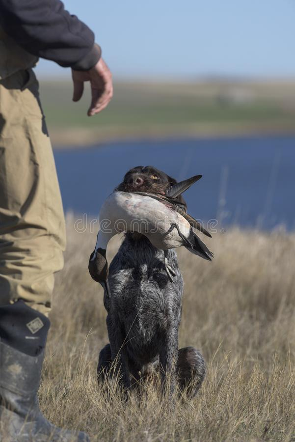 Охотничья собака с уткой шилохвости стоковая фотография