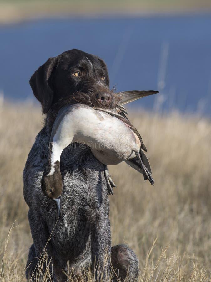 Охотничья собака с уткой шилохвости стоковая фотография rf