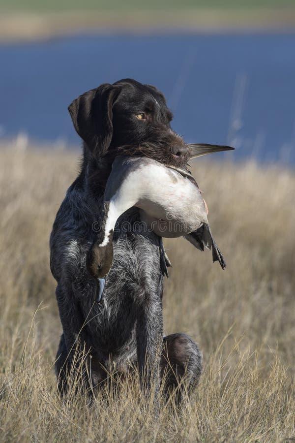Охотничья собака с уткой шилохвости стоковое изображение