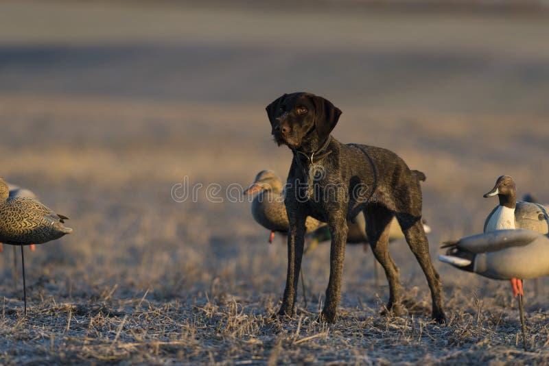 Охотничья собака утки в поле зерна стоковые фото