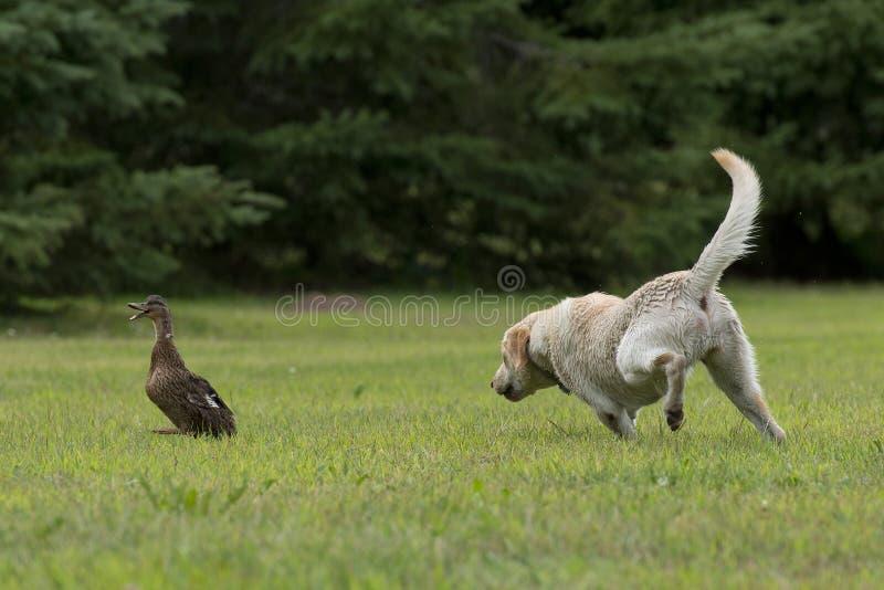 Охотничья собака утки стоковая фотография