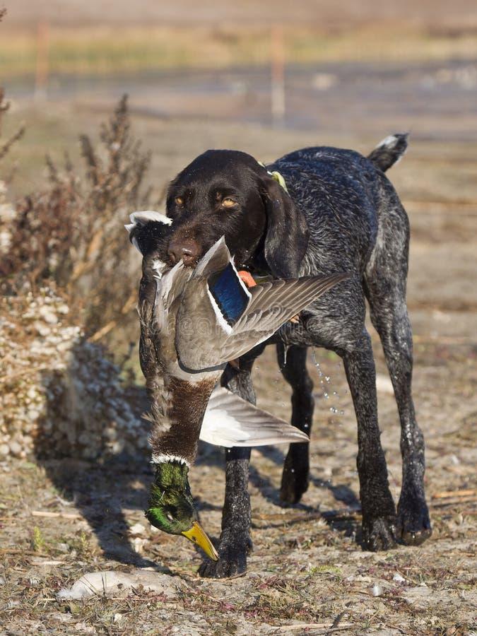Охотничья собака утки стоковое изображение rf