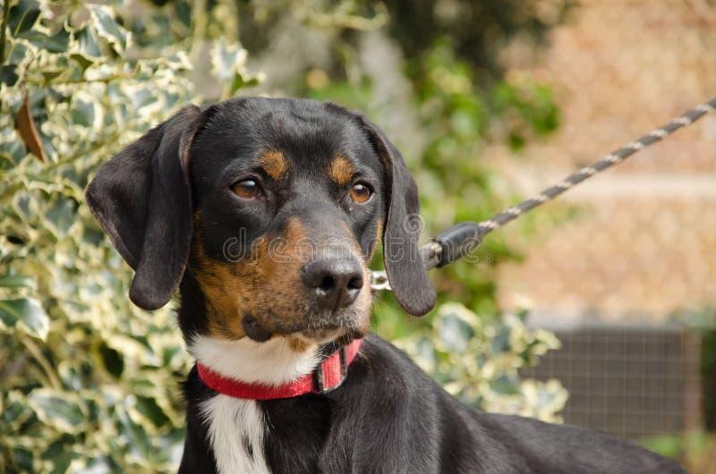 Охотничья собака maremmano Segugio стоковые изображения rf