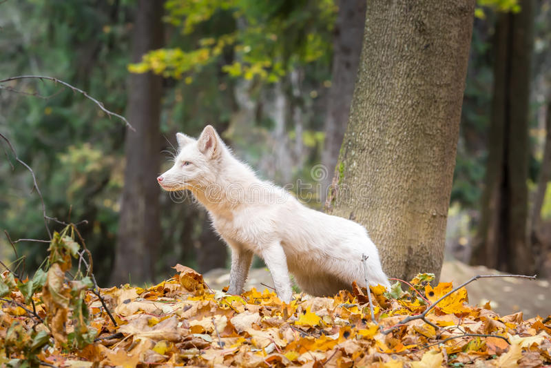 Охоты белого Fox в лесе осени стоковая фотография