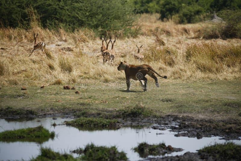 Охотящся львица бежать быстро после импалы стоковая фотография