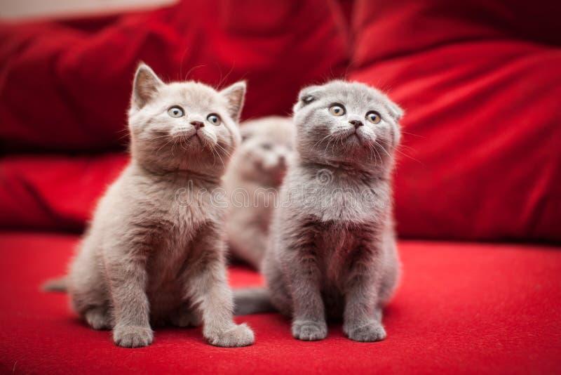 Очаровательные серые котята на красном цвете стоковое фото