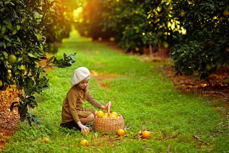 Очаровывая девушка собирая апельсины в корзине стоковая фотография rf