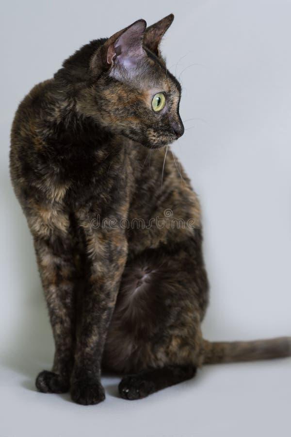 Очаровывая курчавый кот Ural Rex сидит на кровати и взглядах с большими зелеными глазами к стороне Черепаха цвета черная стоковое фото