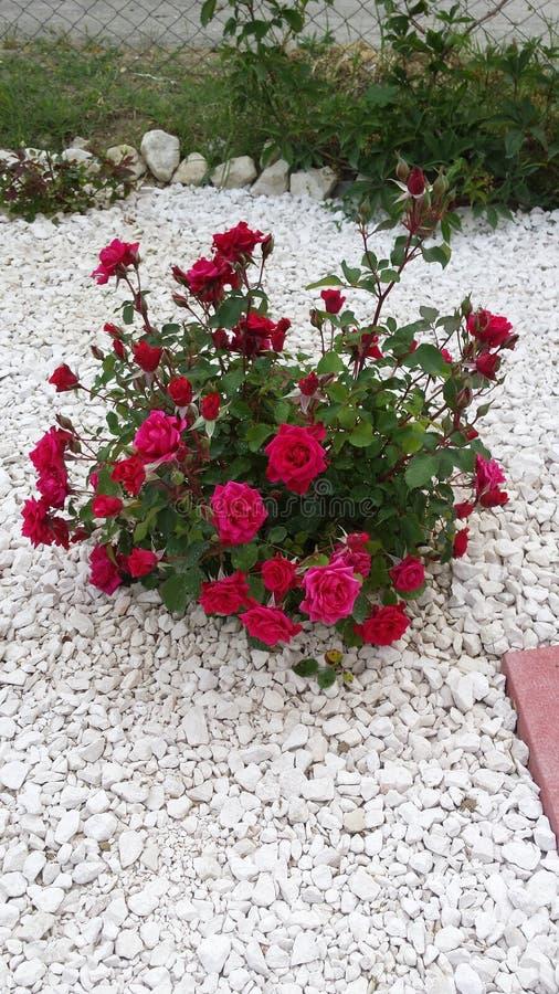Очень большая и славная красная роза стоковая фотография rf