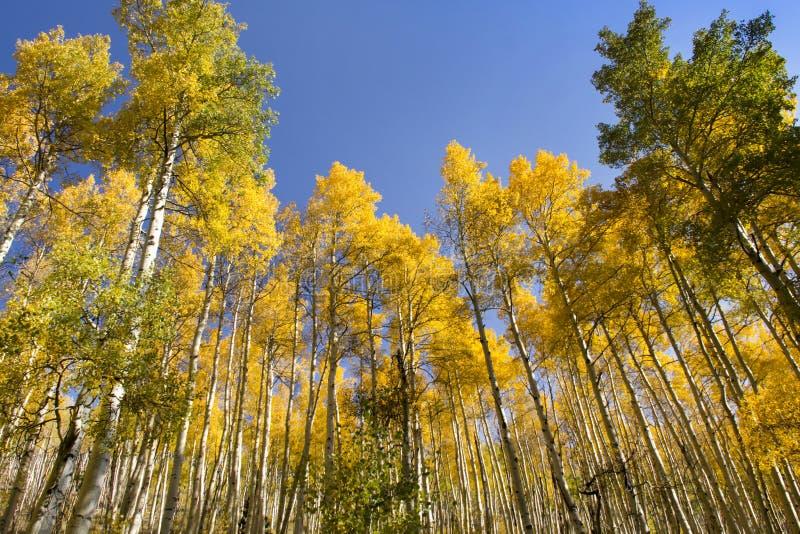 Очень высокорослые золотые деревья Aspen падения в Vail Колорадо стоковое фото rf
