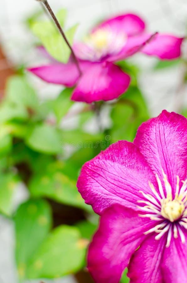 Очень красивое цветене цветка красной розы стоковая фотография rf