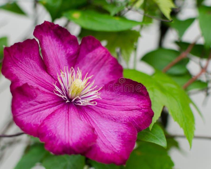 Очень красивое цветене цветка красной розы стоковые изображения rf