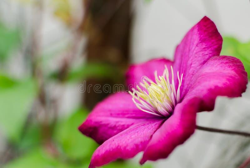 Очень красивое цветене цветка красной розы стоковое фото rf