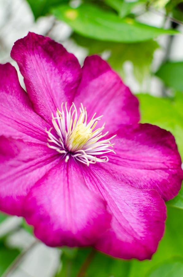 Очень красивое цветене цветка красной розы стоковое изображение rf