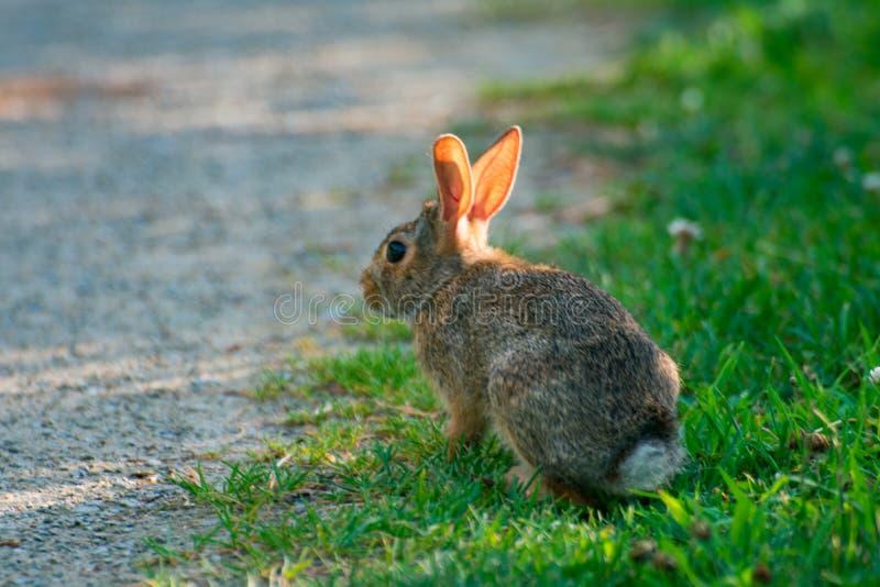Очень маленький милый дикий кролик в задворк стоковое изображение