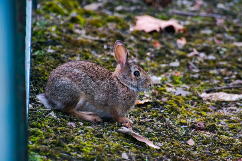 Очень маленький милый дикий кролик в задворк стоковое фото rf