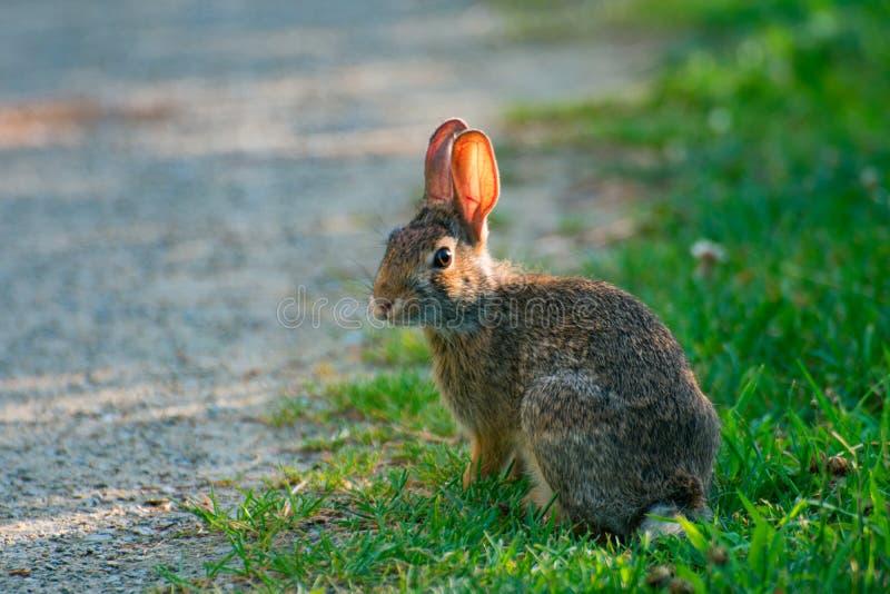 Очень маленький милый дикий кролик в задворк стоковая фотография