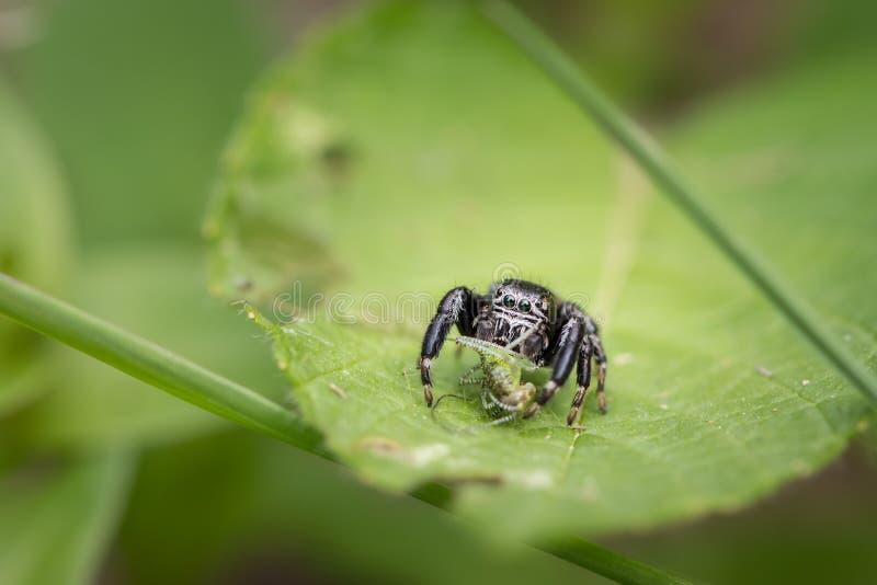 Очень небольшой скача паук сидя на зеленых лист стоковое фото rf