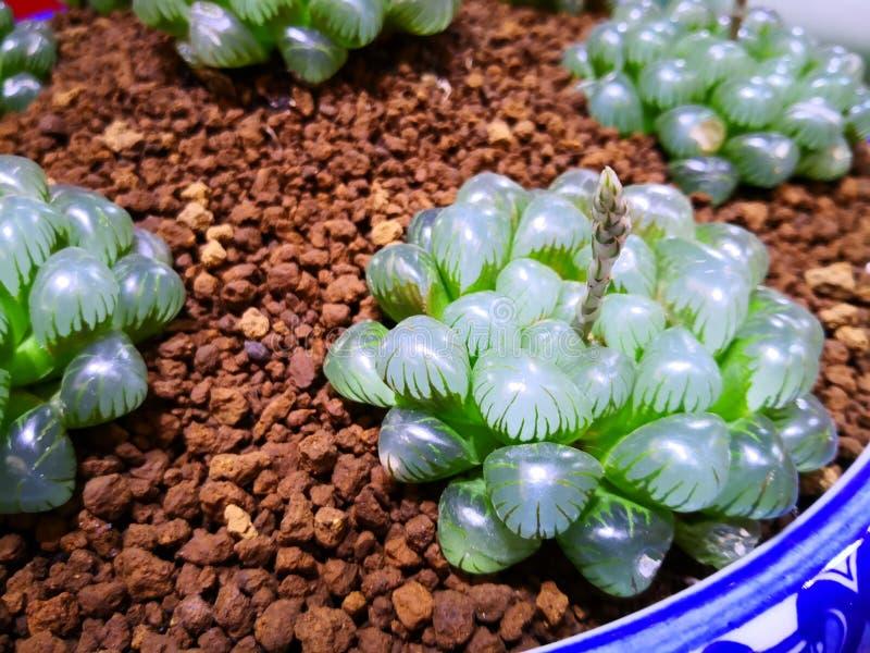 Очень особенный вид succulents стоковые фотографии rf