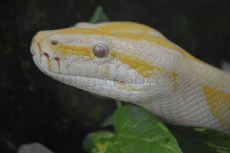 Очень плохая змейка стоковые изображения rf