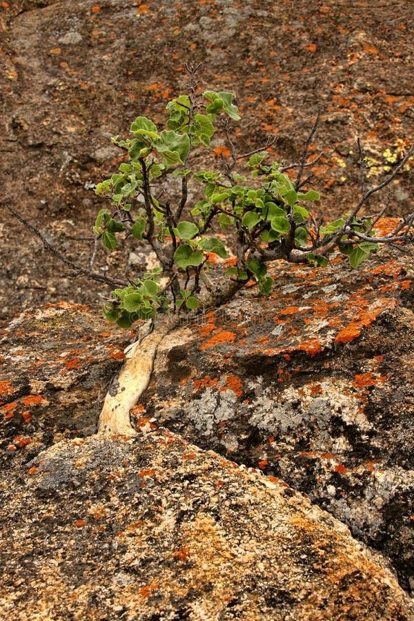 Очень специальная вегетация на утесах национального парка Matopos, Зимбабве стоковое изображение