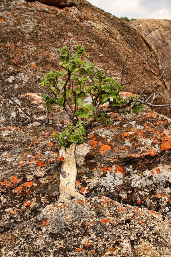 Очень специальная вегетация на утесах национального парка Matopos, Зимбабве стоковая фотография rf