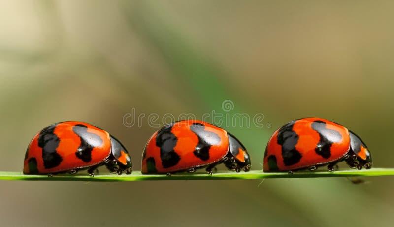 очередь ladybirds стоковое изображение
