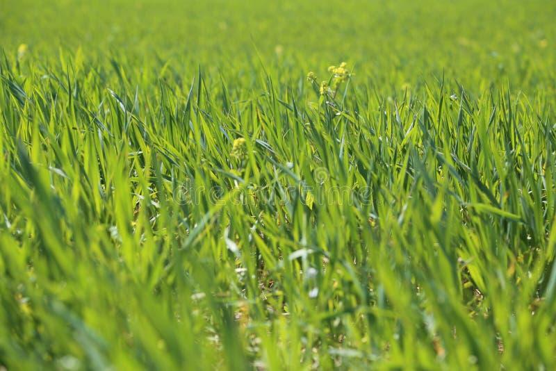 Очистите зеленую траву стоковое фото
