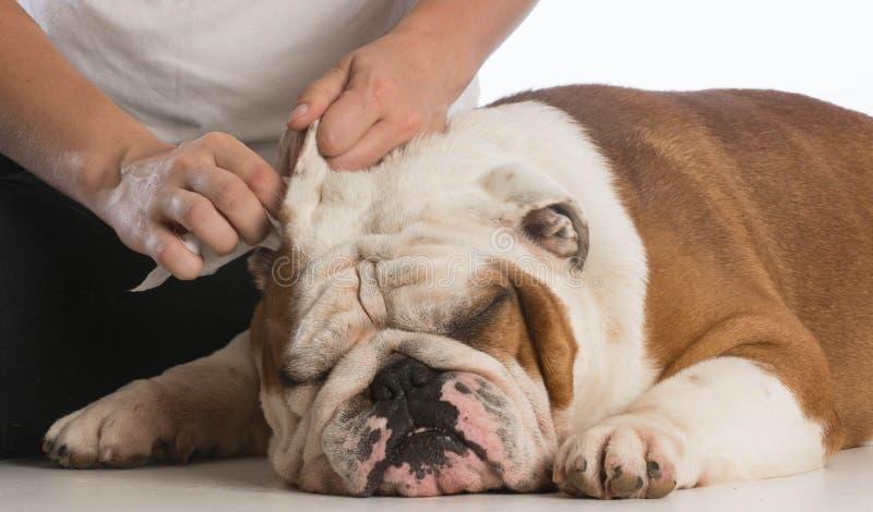 Очистите уши собаки стоковое изображение