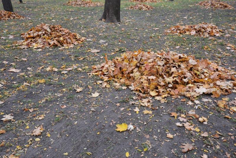 Очистка упавших листьев в саду стоковое фото