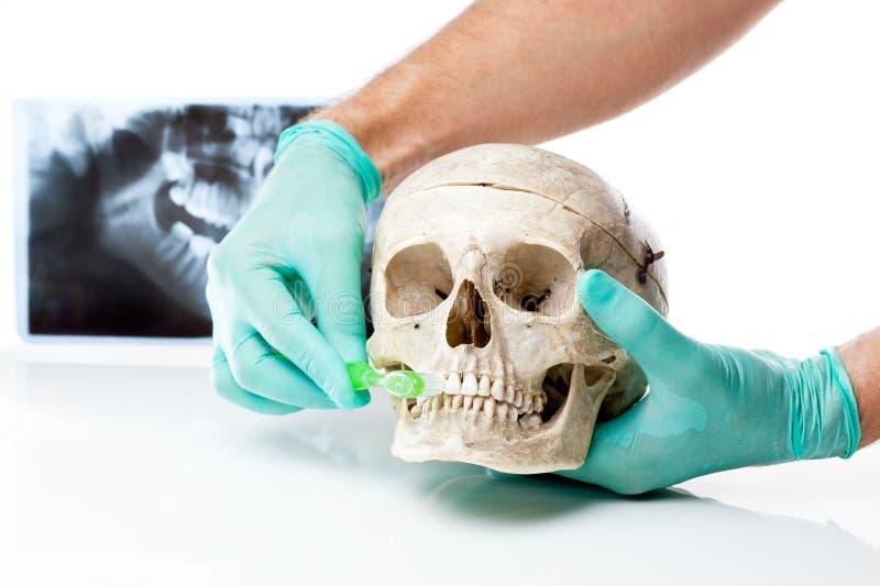 очистьте дантиста как показывающ зубы к зубной щетке стоковые фото