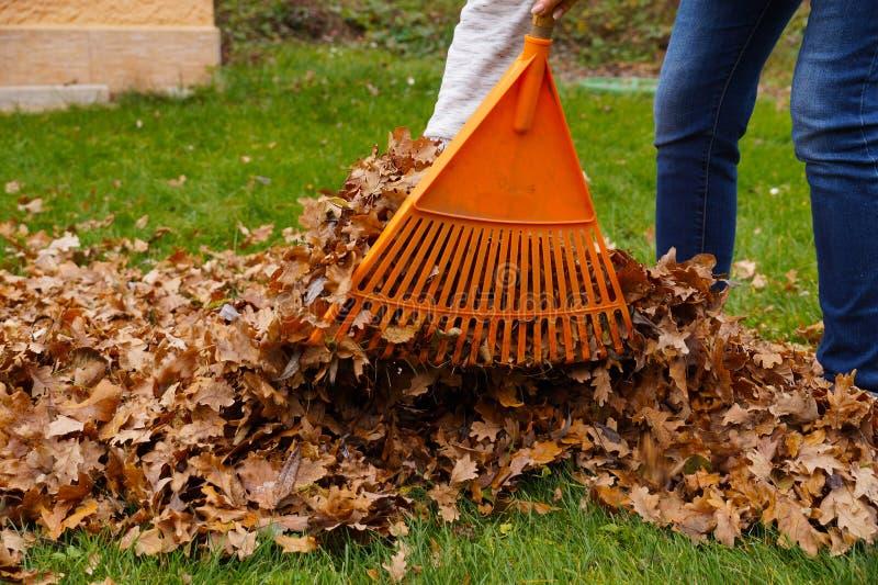 Очищать листья с грабл Работа осени в саде стоковая фотография