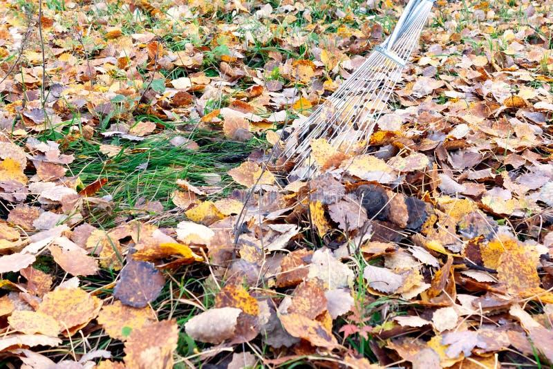 Очищать упаденных листьев во дворе с граблями вентилятора стоковая фотография rf
