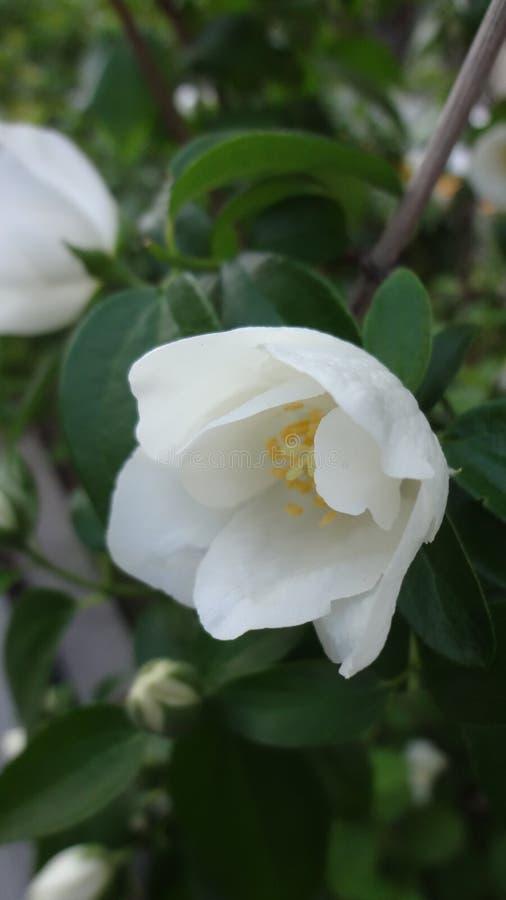 Очищенность белого цветка стоковые изображения