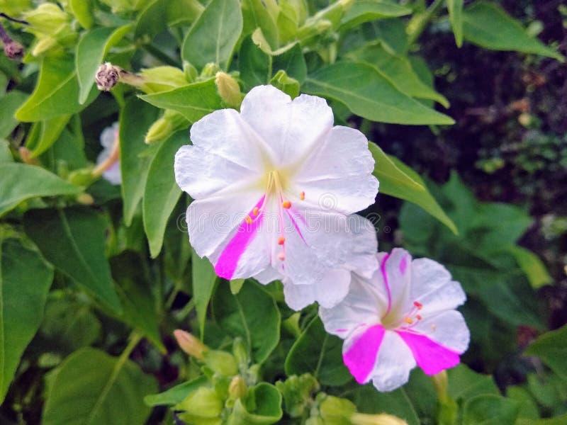 Очищенность цветков стоковое изображение rf
