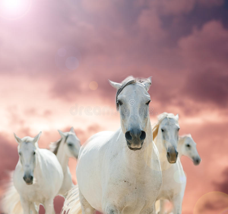 лошади белые стоковые изображения