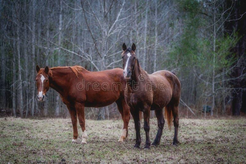2 лошади в древесинах стоковая фотография