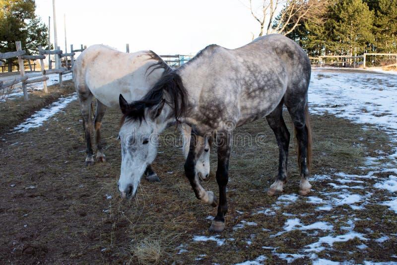 2 лошади пасут в зиме стоковые фото