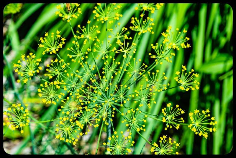 Ошибка на цветке засорителя укропа на зеленой предпосылке стоковое фото rf