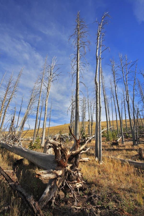 о вниз с древесины yellowstone парка стоковое фото