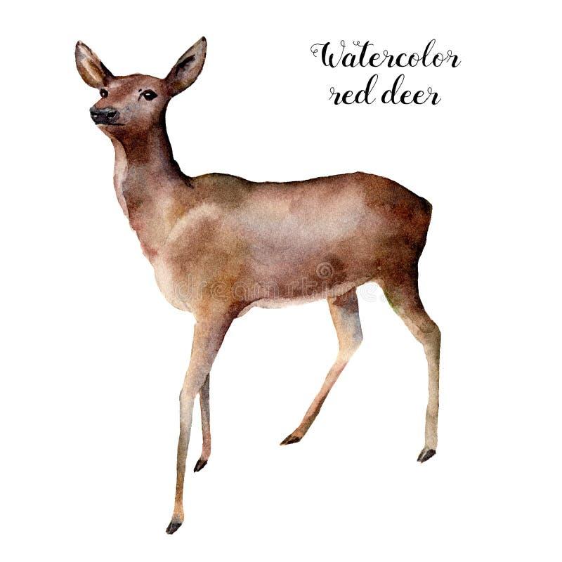 Олени акварели Вручите покрашенную иллюстрацию дикого животного изолированную на белой предпосылке Печать природы рождества для д иллюстрация штока