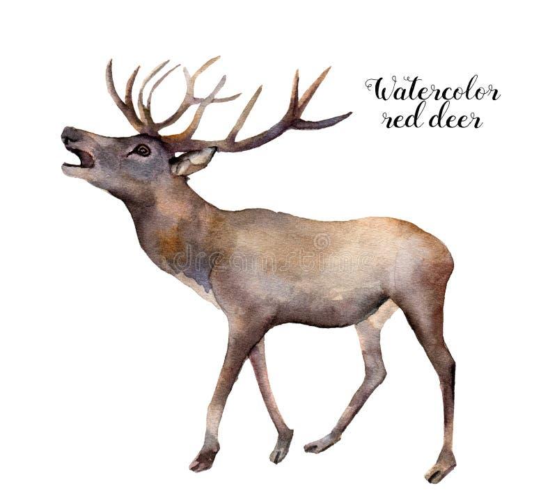 Олени акварели красные Вручите покрашенную иллюстрацию дикого животного изолированную на белой предпосылке Печать природы рождест иллюстрация вектора