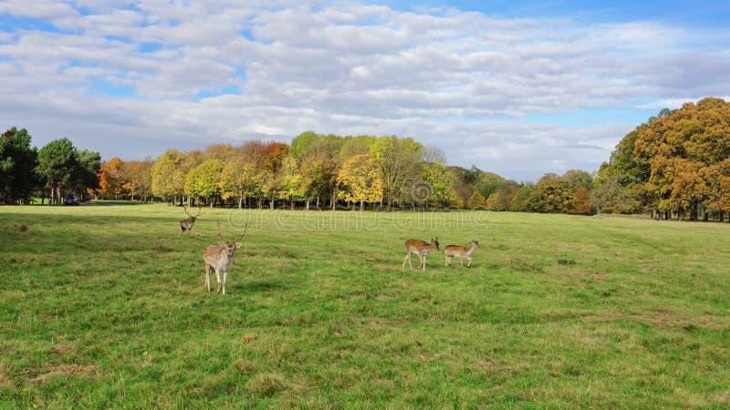 Олени в парке Феникса стоковое фото rf