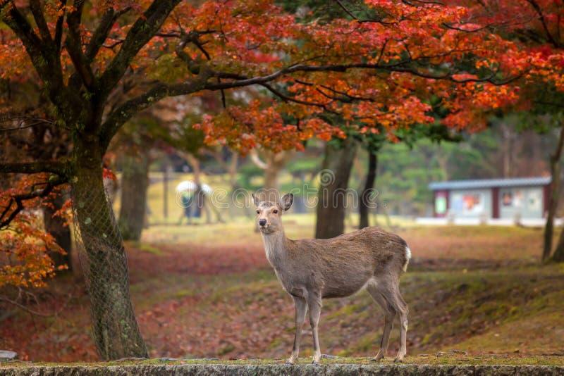 Олени в парке Nara стоковые фотографии rf