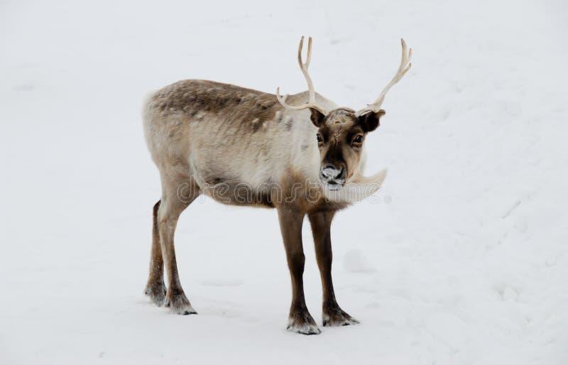 Олени в снежке стоковые фото