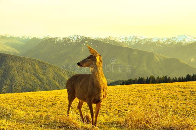 Олени косуль в горах стоковая фотография rf